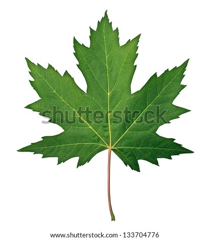 Green Maple Leaf as a spring and summer seasonal themed nature concept also an icon of the fall weather on an isolated white background. - stock photo