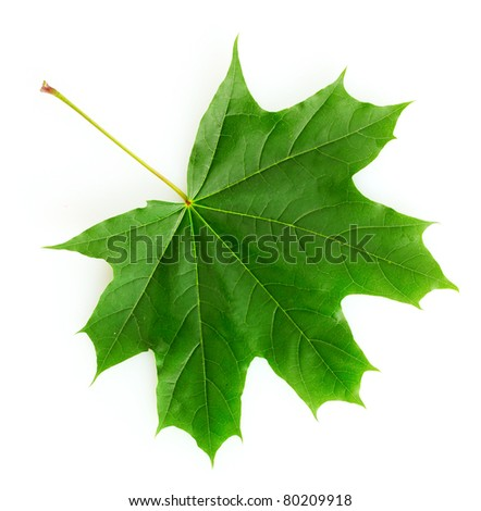 green maple leaf isolated on white - stock photo