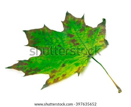 Green maple-leaf isolated on white background. Selective focus. - stock photo