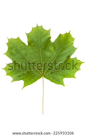 Green maple leaf isolated on white background with clipping path - stock photo