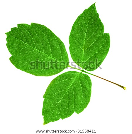 green maple  leaf isolated over white