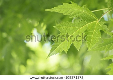 Green maple leaf - shallow depth of field - stock photo