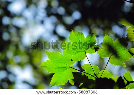 Green maple leaves in city park in the spring afternoon - stock photo