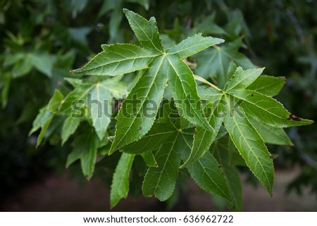 Green maple leaves isolated on a dark green background on a cloudy summer day