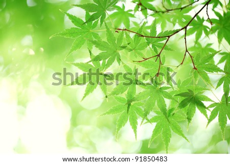green maple leaves, shallow focus. - stock photo
