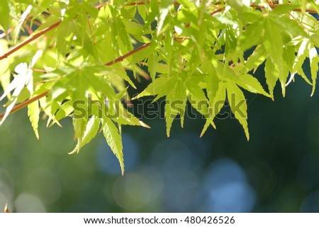Green maple leaves under sunshine in summer background