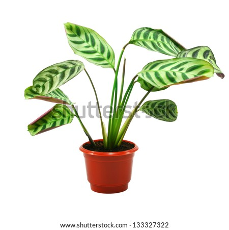 green maranta plant in flowerpot isolated on white - stock photo