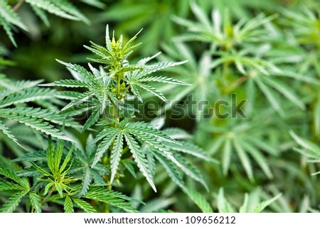 green marijuana leaves close up - stock photo