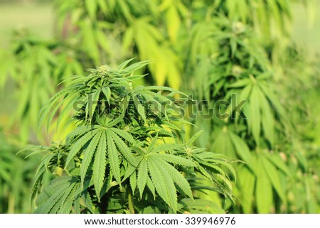 green marijuana plant as very nice medical background