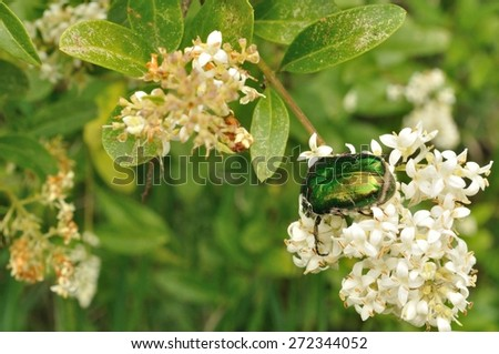 Green may-bug on a white flowers - stock photo