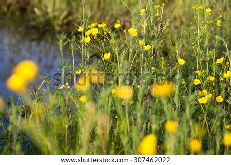 Green meadow with blooming yellow buttercup flowers. - stock photo