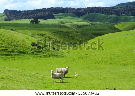 Green meadows with sheep grazing in a beautiful area of Rotorua, New Zealand - stock photo