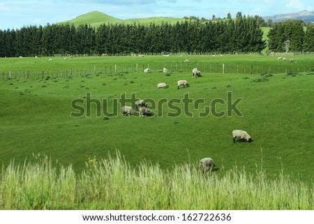 Green meadows with sheep grazing in a beautiful area of Rotorua, New Zealand - stock photo
