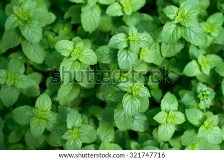 green mint leaves, fresh peppermint background - stock photo