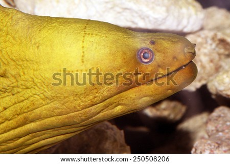 Green Moray Eel (Gymnothorax Funebris) on an Artificial Reef in Florida. - stock photo