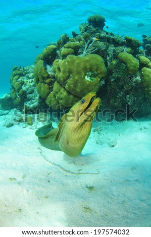 Green Moray Eel in the Reef, Grand Cayman, Cayman Islands - stock photo