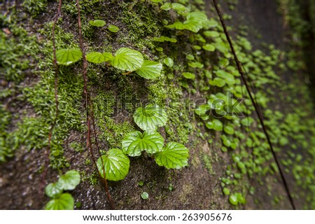 green moss on the stone and brick walls in Thailand - stock photo
