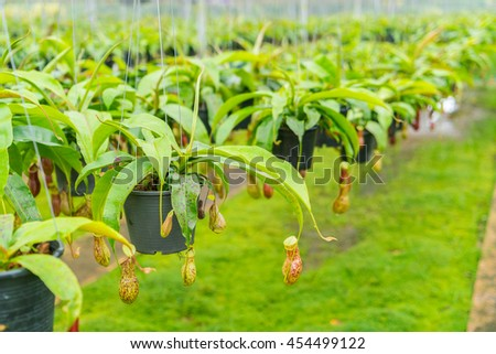 Green  Nepenthes field , also known as tropical pitcher plants or monkey cups - stock photo