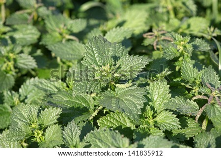 Green nettle weed in an European meadow during spring - stock photo