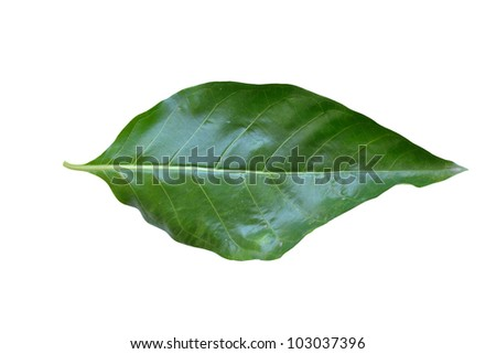 Green Noni leaf on white background.