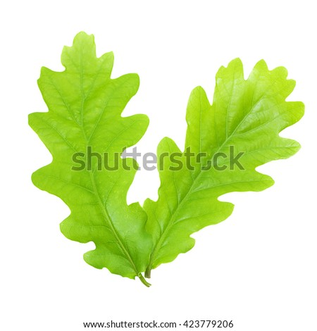 Green oak leaves isolated on white background - stock photo