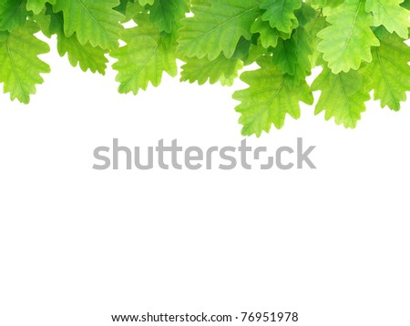 Green oak leaves isolated on white background