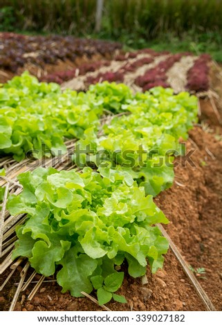 green oak  lettuce leaf on farm