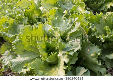 Green Oak Lettuces