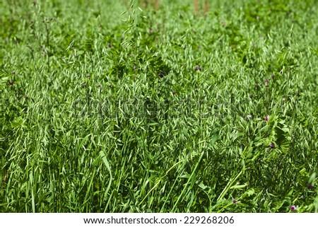 green oat field on summer day - stock photo