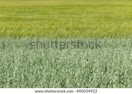 Green Oat Field with Barley Field