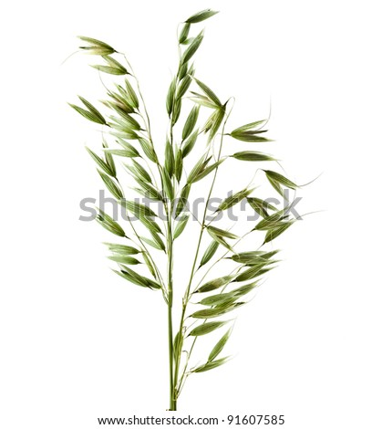 Green Oats plant Isolated  on white background  - stock photo