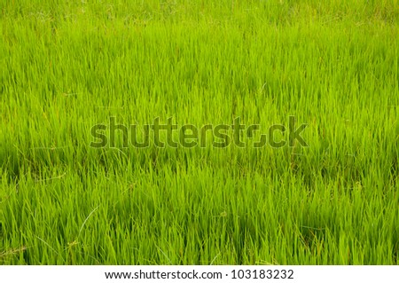 Green of rice grass. - stock photo