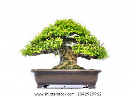 Green old bonsai tree isolated on white background in a pot plant in the shape of the stem is shaped artisans create beautiful art in nature.