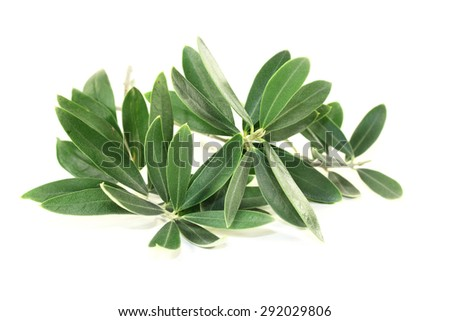 green olive branches on a bright background - stock photo