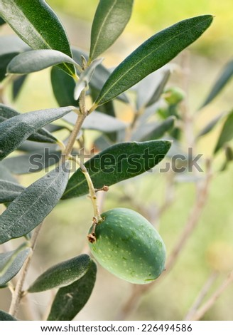 Green olive on the branch on the background of nature.