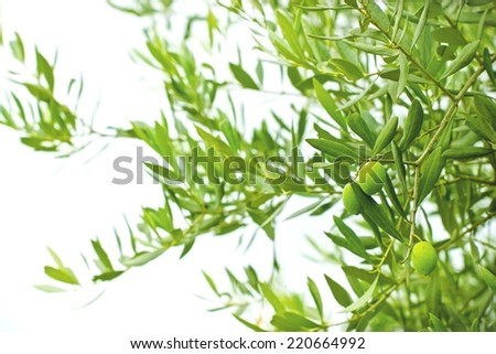 Green olives on branches - stock photo