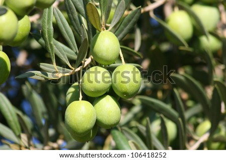 Green olives on the tree. Close up picture of green olives in olive tree farm in California. - stock photo