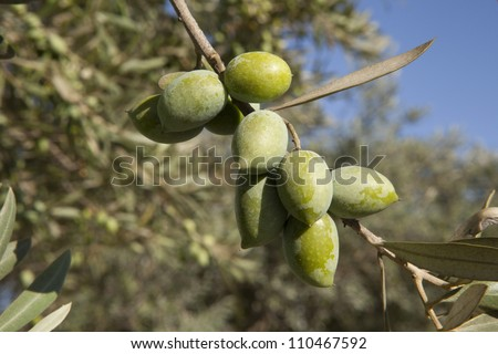Green olives with fresh olive branch in nature - stock photo