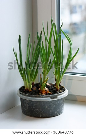 Green onions grown on the windowsill at home. Bulbs planted in soil in plastic containers. - stock photo