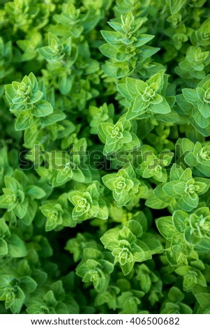 Green oregano, seasoning and spice, wild marjoram. grown in Turkey - stock photo