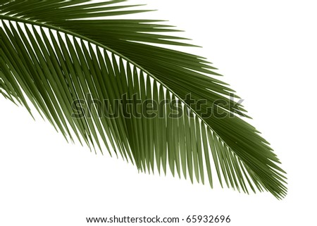 Green palm leaves isolated on white background. - stock photo
