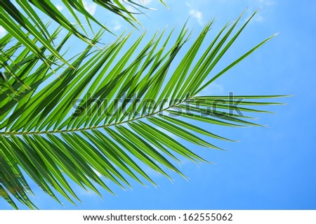 Green palm leaves over blue sky background    - stock photo