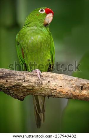Green parrot Finsch's parakeet, Aratinga finschi, Costa Rica - stock photo