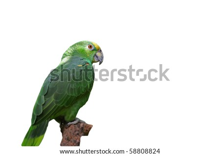 Green parrot isolated - stock photo