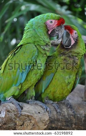 Green Parrots - stock photo