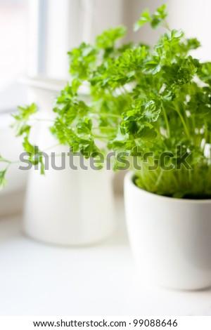 Green parsley (Petroselinum hortense) in a pot on a kitchen window - stock photo