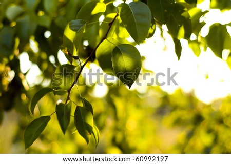 green pear leaves. shallow focus - stock photo