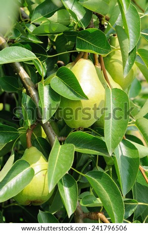 green pears growing on the tree in sunlight - stock photo