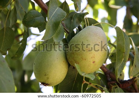 Green pears on tree