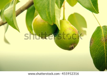 Green pears with leafs on the branch